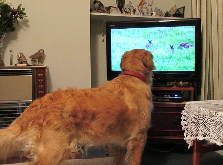Retriever watches TV