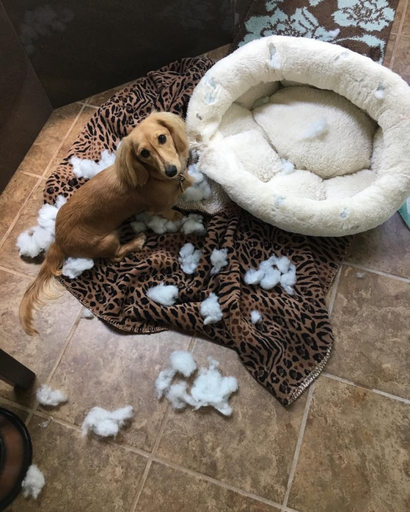 Dog acting guilty near a destroyed dog bed
