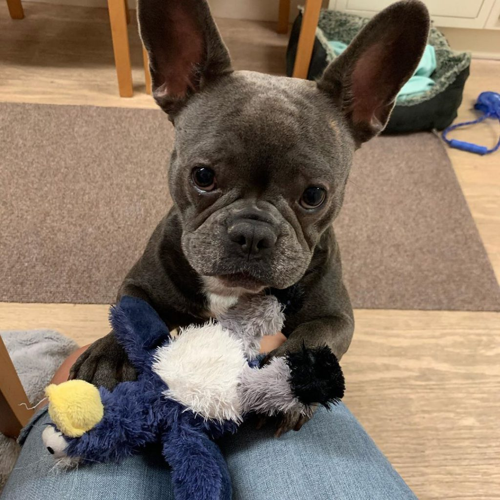 Dog holding a toy, looking at the camera with expectation