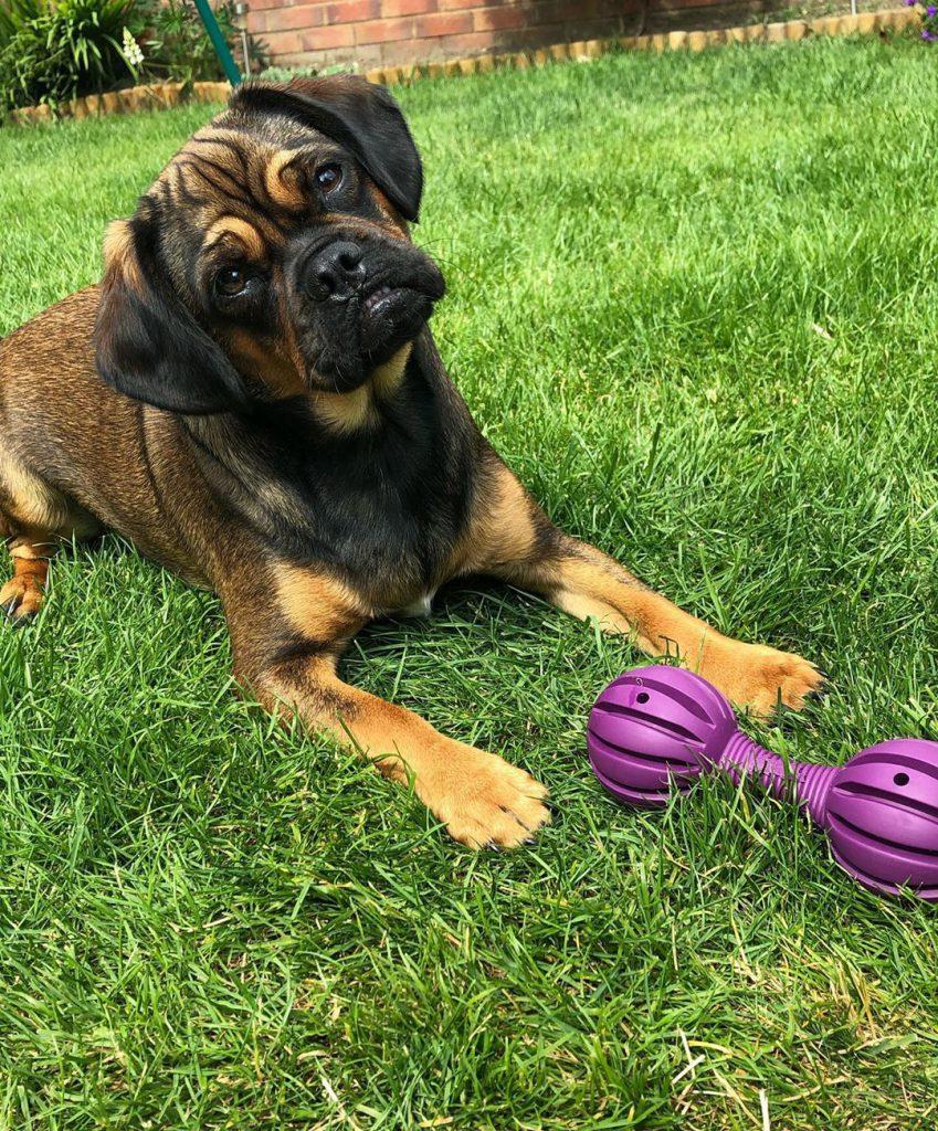 Dog posing with a WufWuf toy