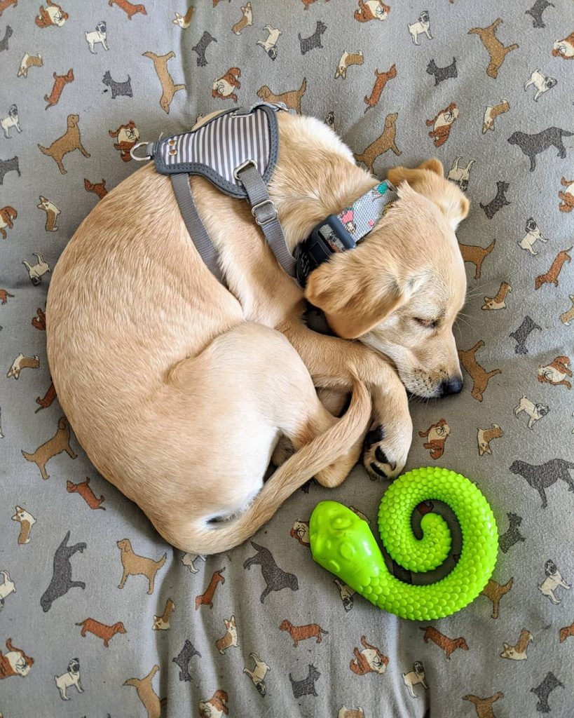 Dog curled up on duvet with snake toy