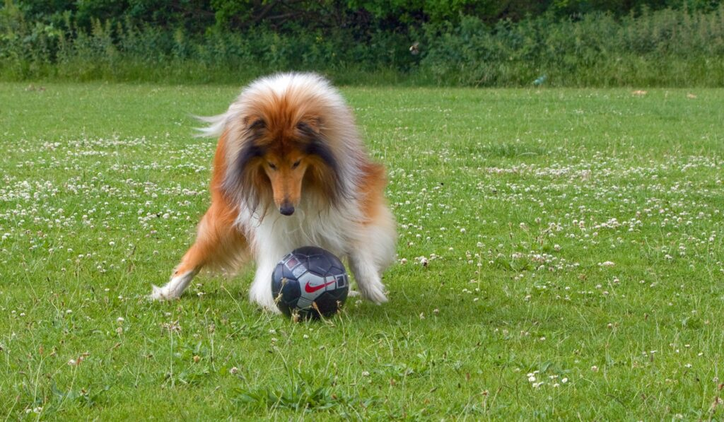 Collie with football