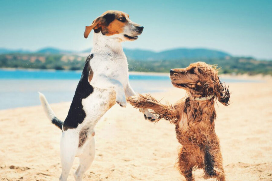 Beautiful shot of two dogs standing upright and dancing together on a beach