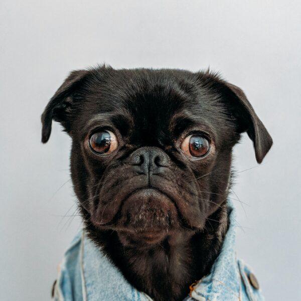 pug dog with big eyes