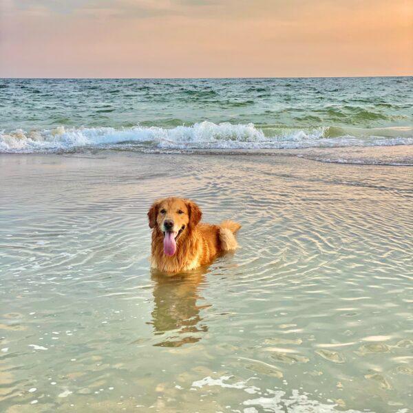 golden retriever in sea