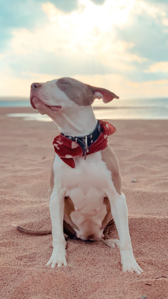 Pitbull close up - on beach