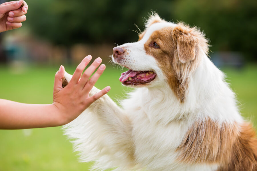 Australian Shepherd gives high five