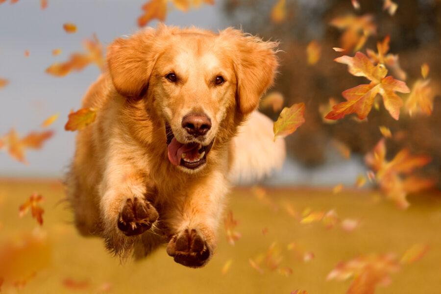 retriever puppy bounding across autumn field.