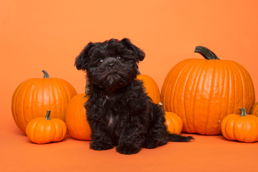 Small black Terrier in front of pumkins on orange background